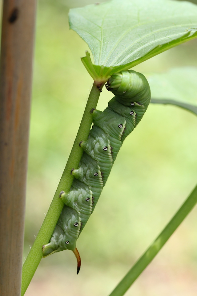 green caterpillar on leaf stem