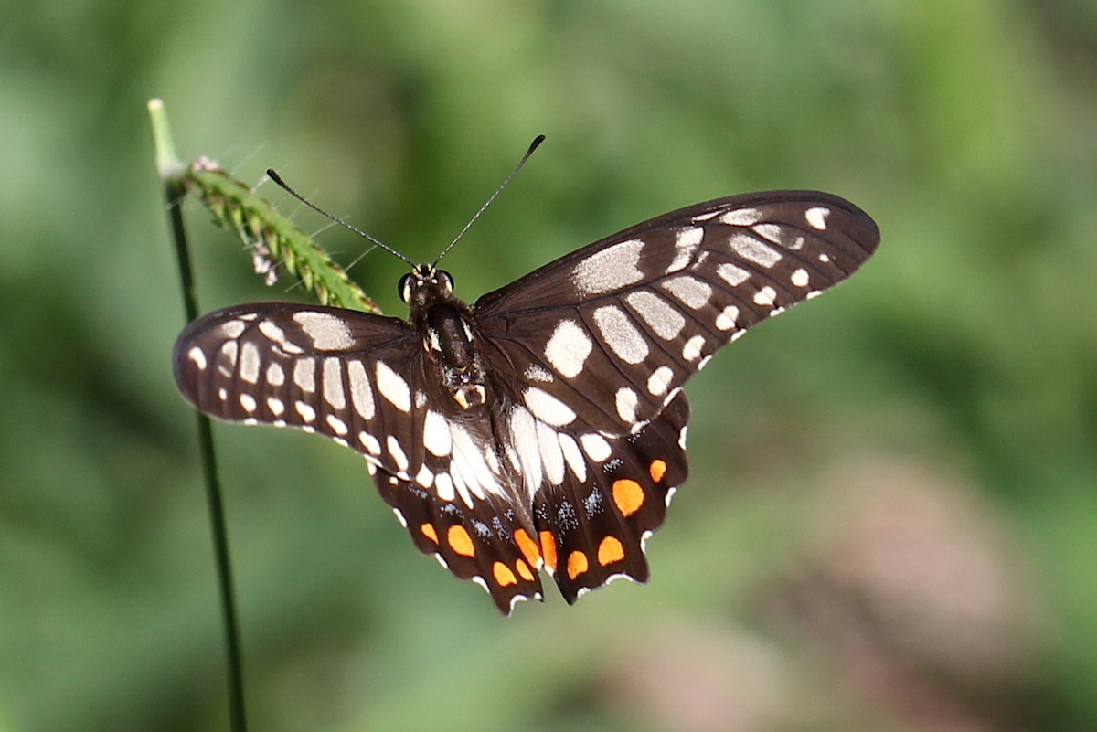 chequered butterfly