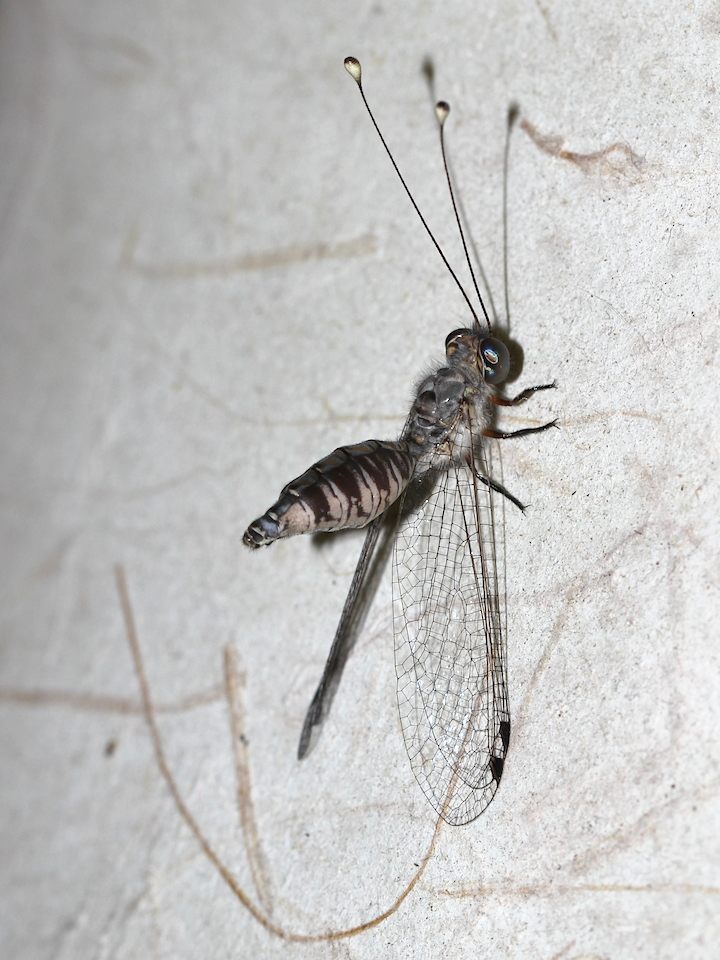 dragonfly-like insect