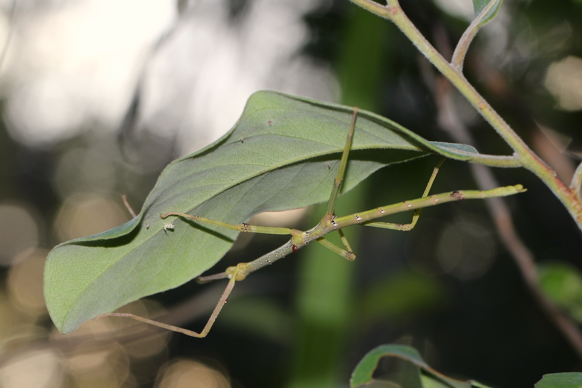 Stick insect hanging beneath a leaf
