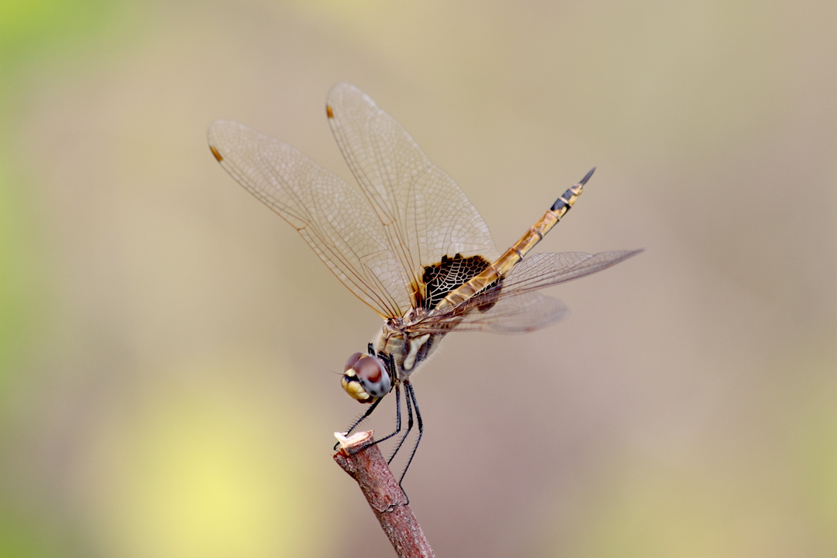 brown dragonfly perching