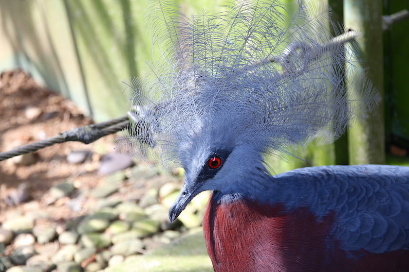Scheepmaker's Crowned Pigeon - a big bird, about the size of domestic hen