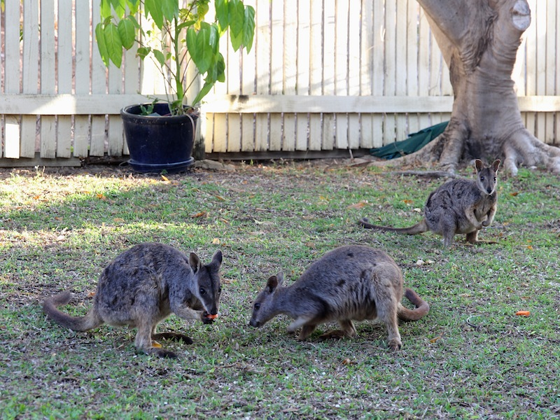 Allied Rock Wallabies on the lawn