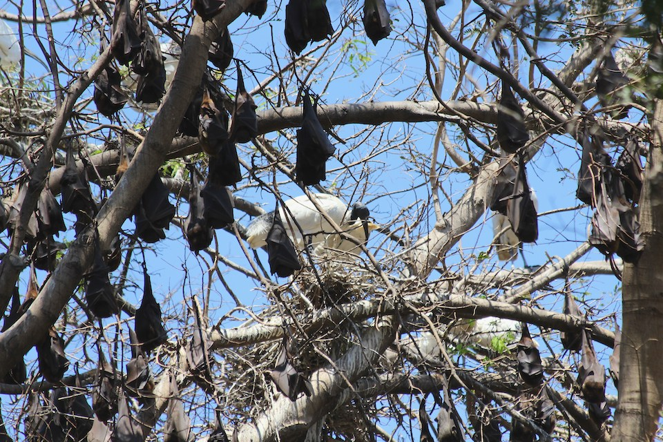 White Ibis nesting amongst flying foxes in the Palmetum