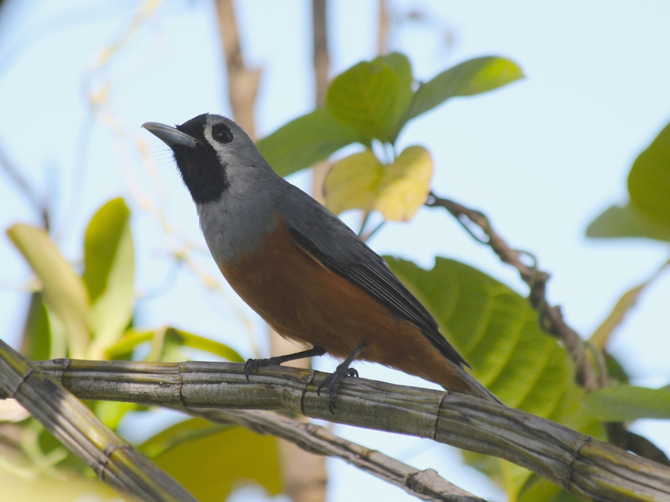 grey bird with black face and orange belly