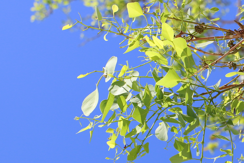 poplar gum leaves