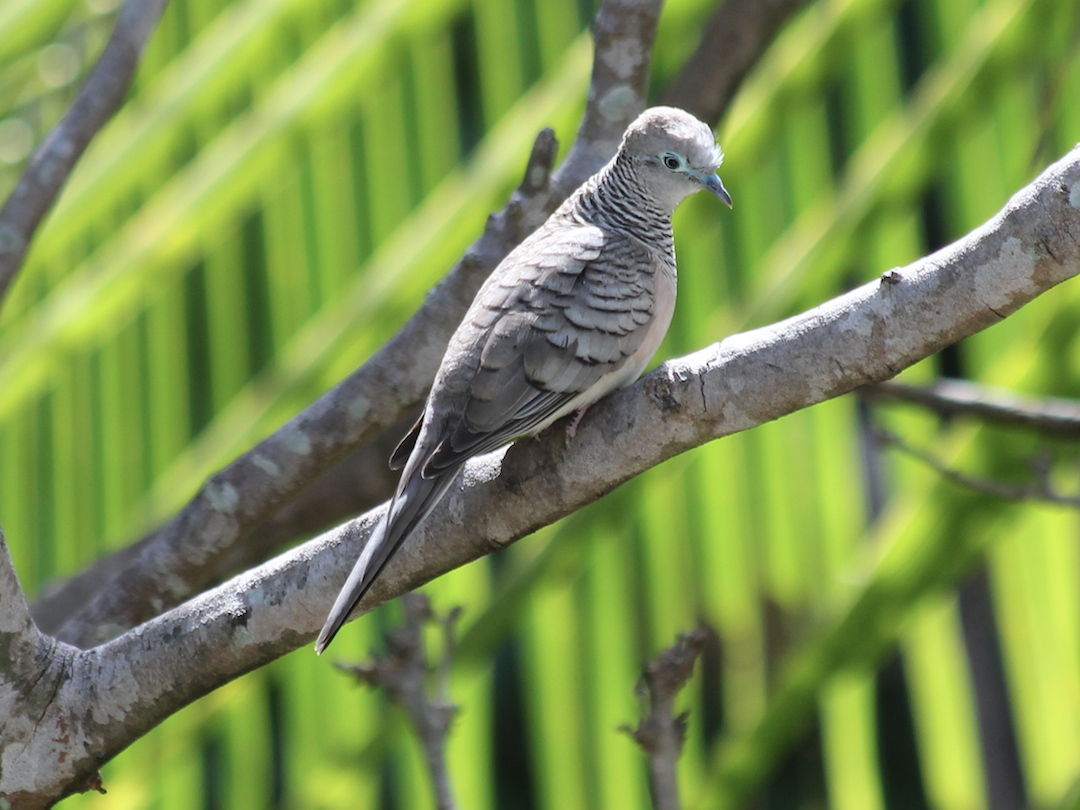 grey dove on branch