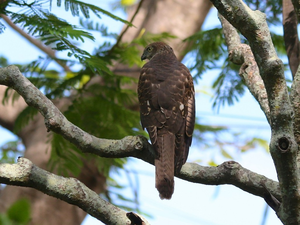 hawk seen from behind