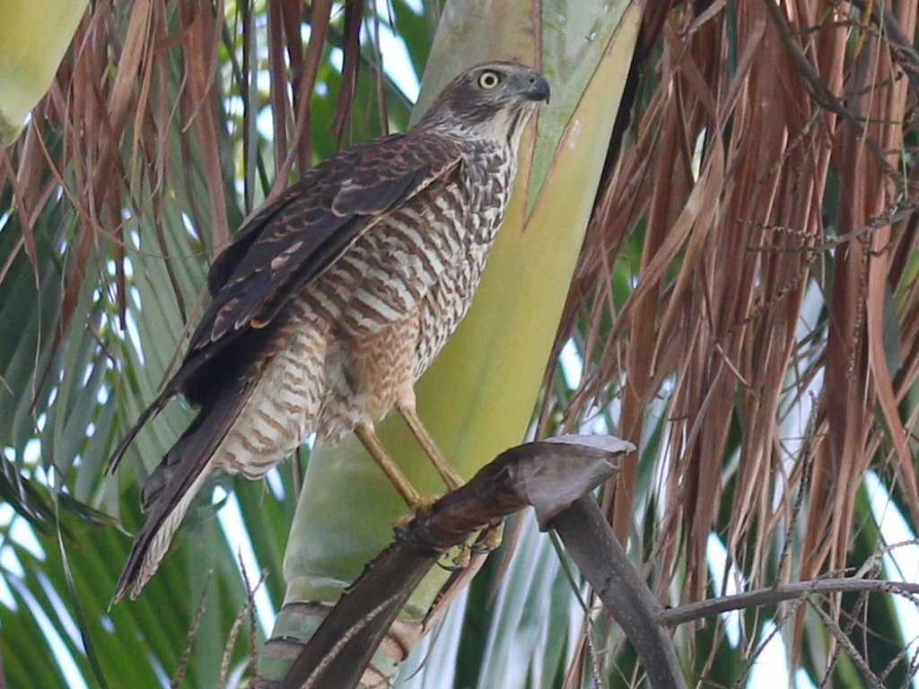 Brown Goshawk in golden cane cluster palm