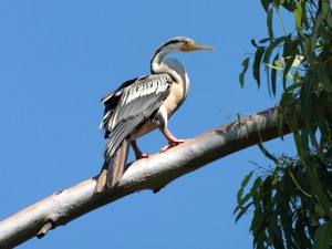 darter on branch