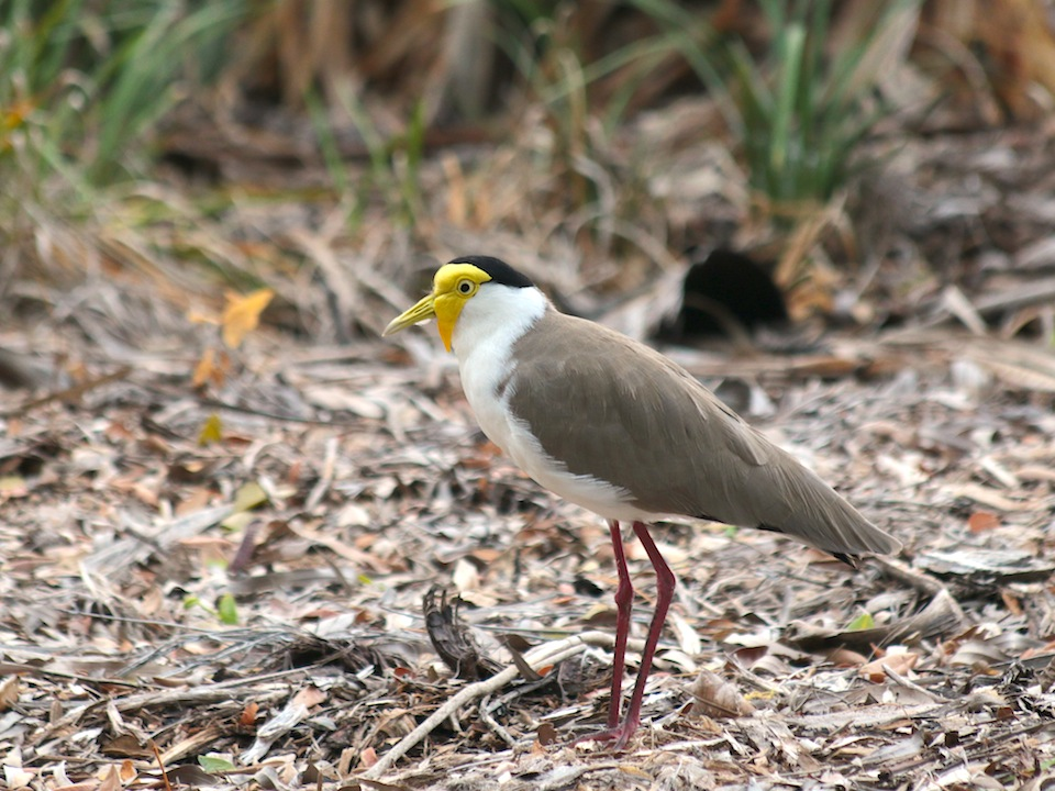 plover standing on leaf litter