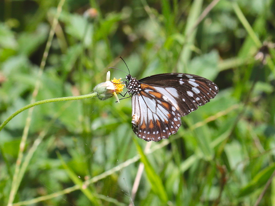Marsh Tiger butterfly