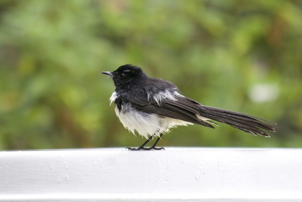 Wille wagtail