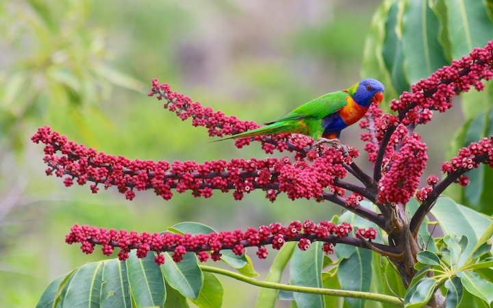 lorikeet on red flowers