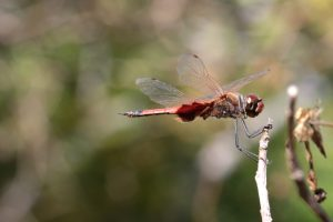 dragonfly on Town Common