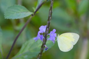 yellow butterfly on Town Common
