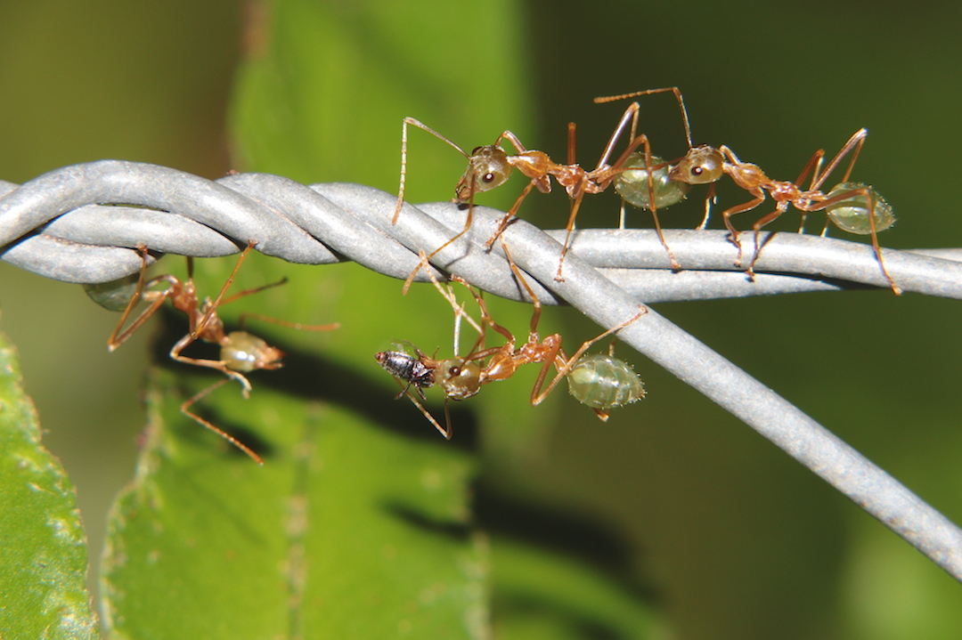 green-ants on wire fence