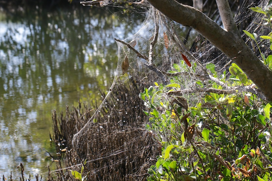 Mangroves covered in spiderweb