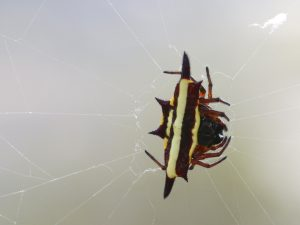 spiny spider