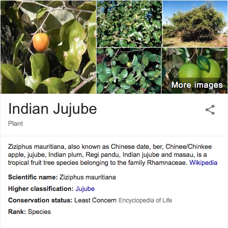 Chinee Apple - a pest in North Queensland but a resource