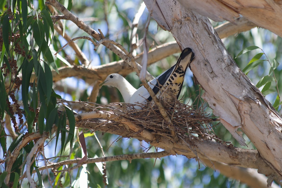 pied imperial pigeon nest