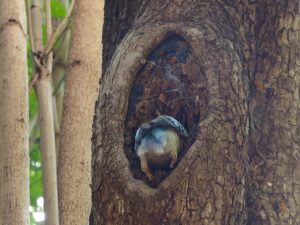 Blue-winged Kookaburra nest