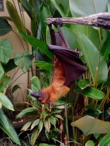 balinese flying fox