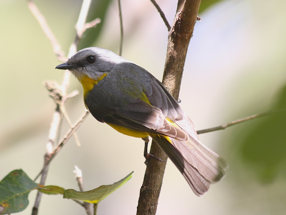 Eastern Yellow Robin Eopsaltria australis