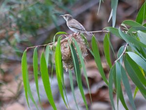 Brown-backed Honeyeater Rollingstone