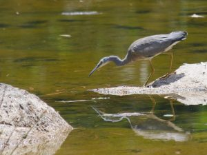 White-faced Heron Rollingstone