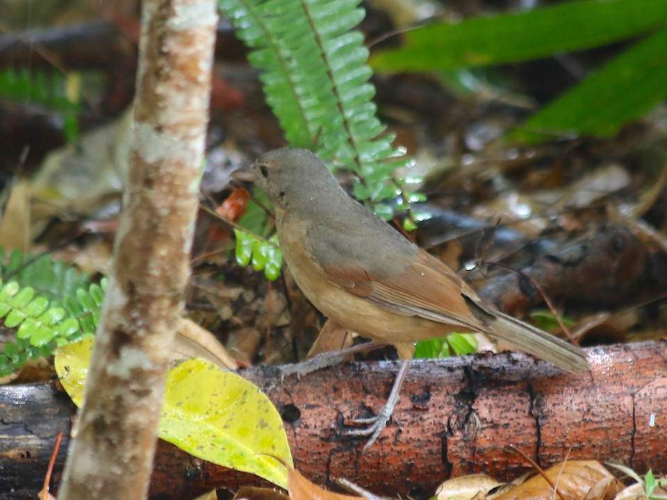Little Shrikethrush (Colluricincla megarhyncha)