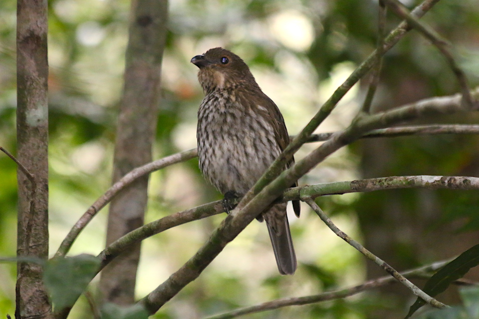 Bowerbird on perch