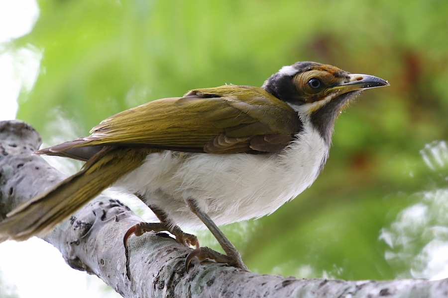 Blue-faced Honeyeater Entomyzon cyanotis