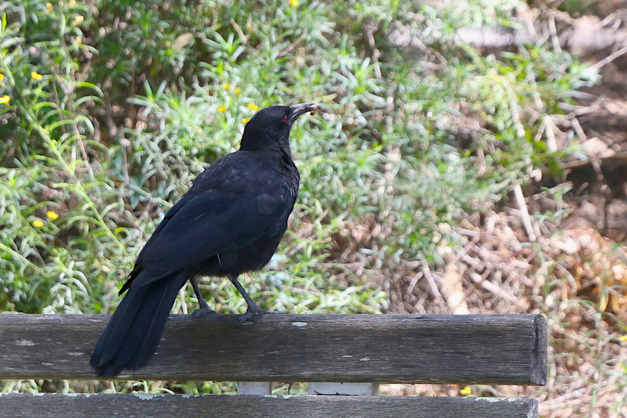 White-winged Chough, Corcorax melanorhamphos