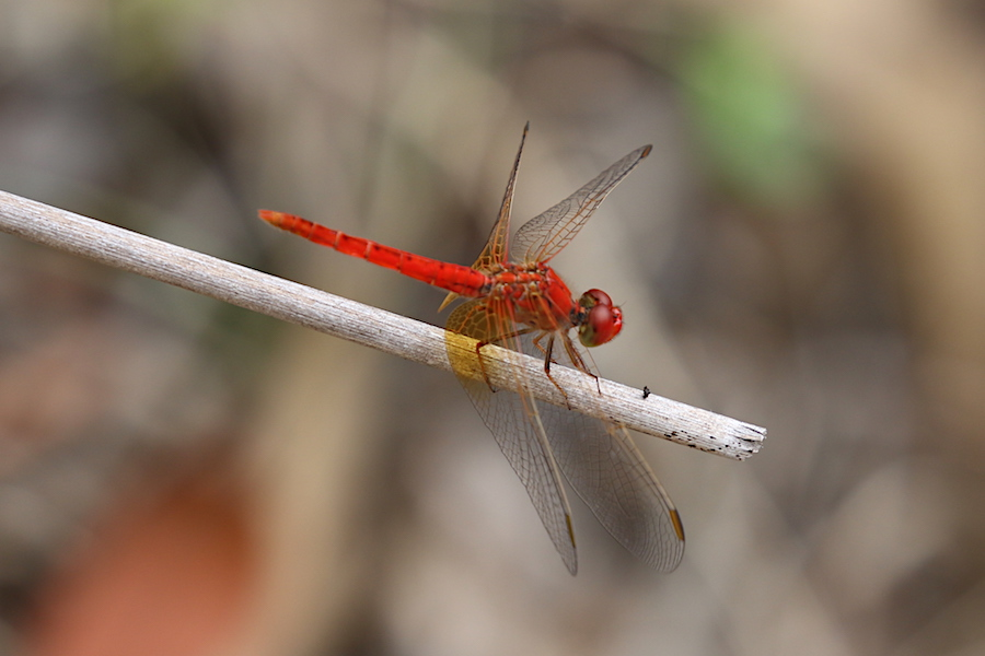 red dragonfly Diplacodes haematodes