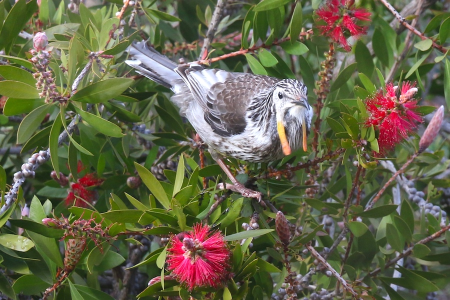 wattledird on bottlebrush