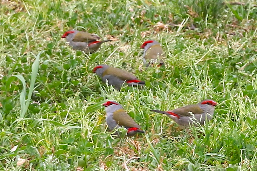 Red-browed Finches at Myrniong