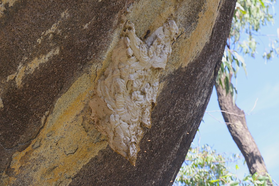 Paper Wasp nest at Turtle Rock