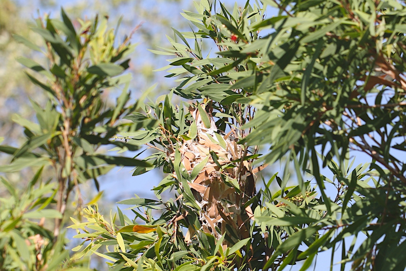 Green-ants' nest in bottlebrush