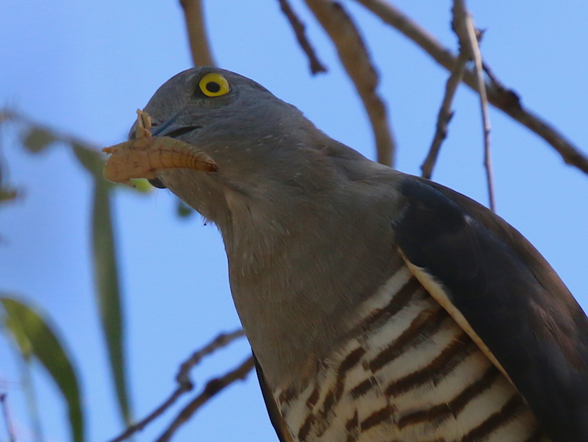 Pacific Baza with prey