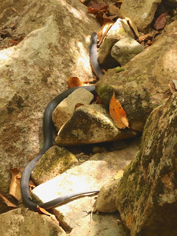 Red-bellied Black Snake, Pseudechis porphyriacus