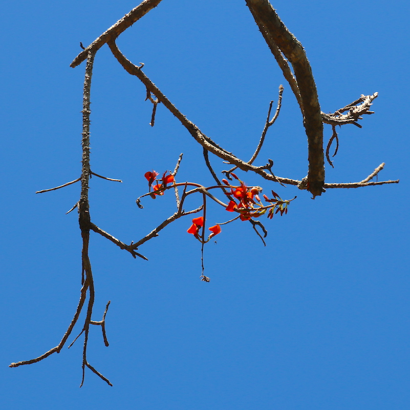 Batwing Coral tree flowers