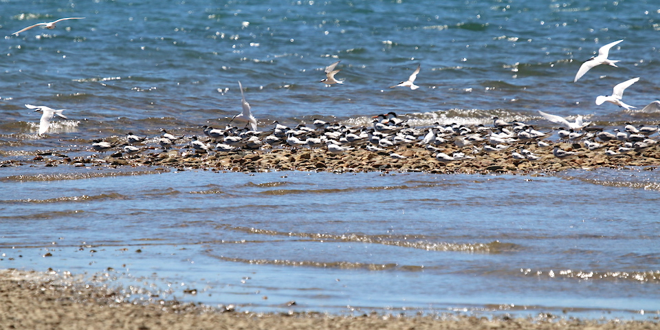 Terns on Ollera Creek beach