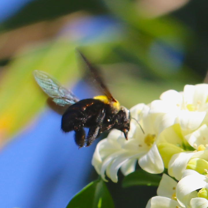 Carpenter Bee feeding on Mock Orange flowers