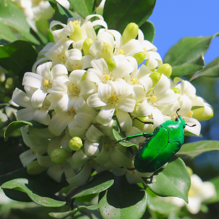Green Scarab beetle on Mock Orange flowers