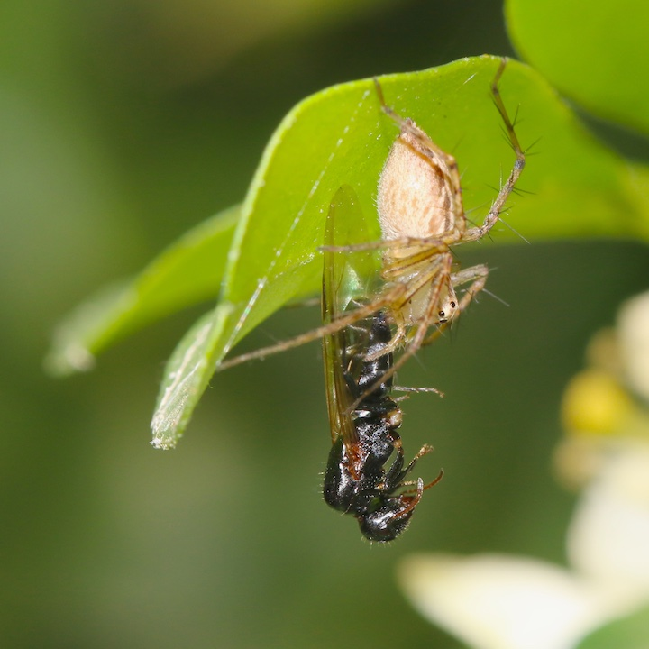 Lynx spider with wasp prey