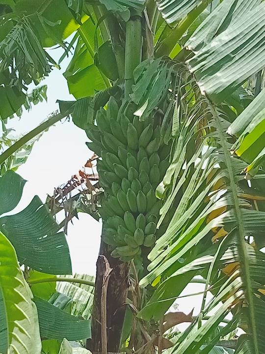 ducasse banana bunch on tree