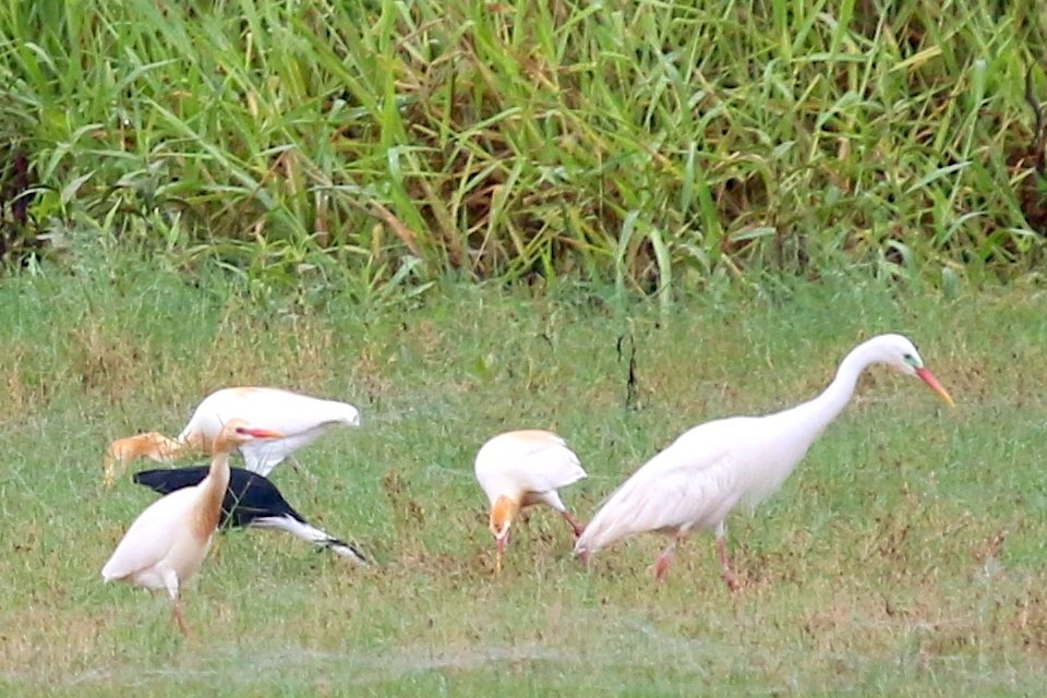 pied heron feeding with Cattle Egrets and Intermediate Egret