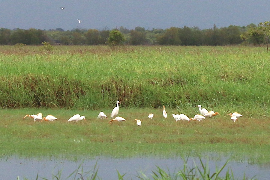 cattle egrets on Town Common