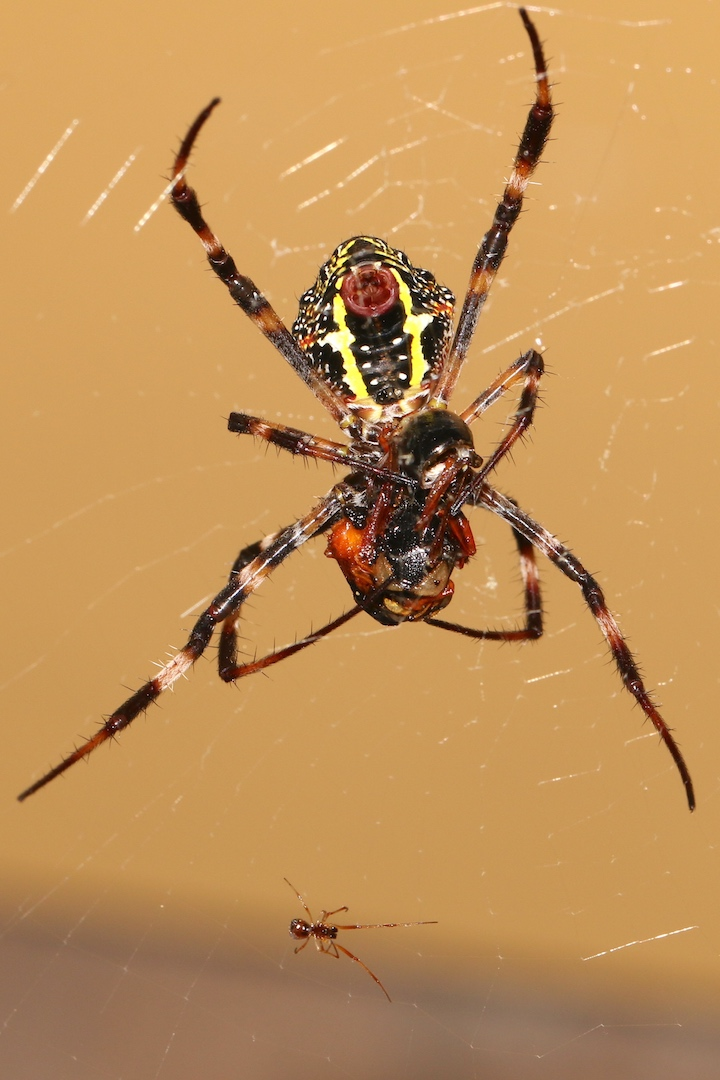Dewdrop spider stealing from St Andrew's Cross